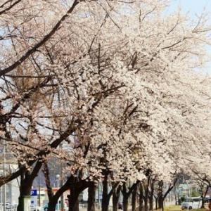 釜石の桜と三陸町【三平食堂】