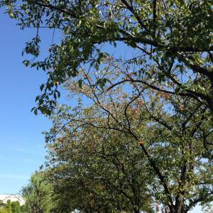 通勤路の桜並木🍁