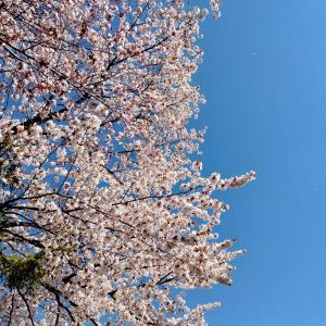 桜を一緒に見れるなんて幸せ。