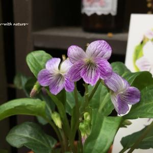 山野草 スミレ(Viola mandshurica)とアリの関係と育て方