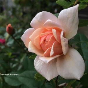 *育て方*やっておきたい11月のバラのお手入れ*misa's garden流*