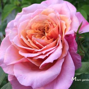 日本の夏に強い和バラ F&Gローズのみやび(雅)Miyabiの育て方