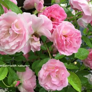トゲがなく、とても育てやすいつるバラ春がすみ(Pink Summer Snow)の育て方と村田晴夫先生の誘引