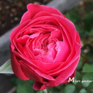 切り花にピッタリの和バラ。F&Gローズ ゆうぜん(友禅)の育て方