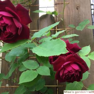 魅惑の赤バラ 岩下篤也氏のSアンダーザローズ(Under the Rose)の育て方