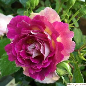 花弁の色が変わっている小型のシュラブ Sオルフェオ(Orfeo)の育て方