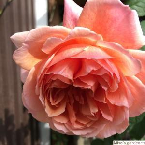 日本の夏に強い 和バラSかおりかざり(kaorikazari)の育て方