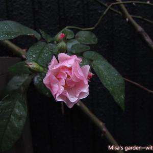 九月のお庭~バラ、蘭、コンポストetc~