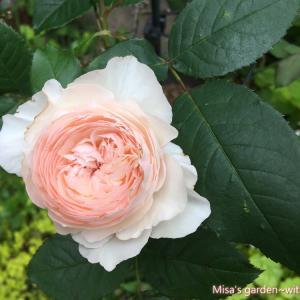 少し病気に弱いけど、花付きが抜群にいい 和バラSひより(Hiyori)の育て方