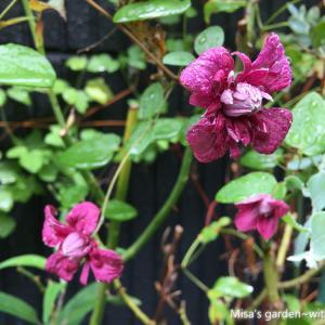 クレマチス ビチセラ系パープレアプレナエレガンス(Clematis viticella 'Purpurea Plena Elegans')の育て方