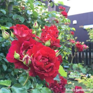 *育て方*Clマグネティックアイズ(Magnetic Eyes)*見ごたえある房咲きの赤いつるバラです