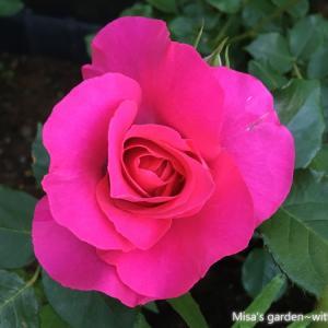*育て方*Clつるローズうらら(Cl.Roseurara)*ショッキングピンクの育てやすいつるバラ