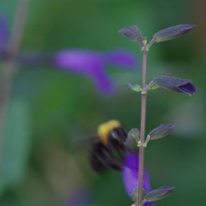 花の落ちたブルーサルビア