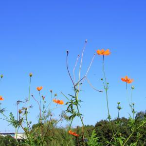 コスモスの花を見上げる
