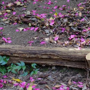 地面に落ちた山茶花の花びら