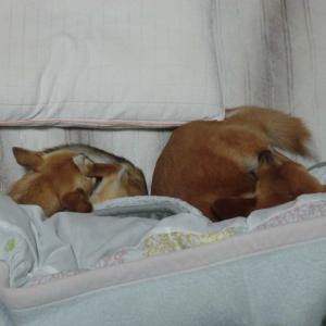 犬はお布団が好き