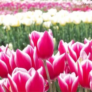 4月上旬~:写真スポット「チューリップ公園」in徳島