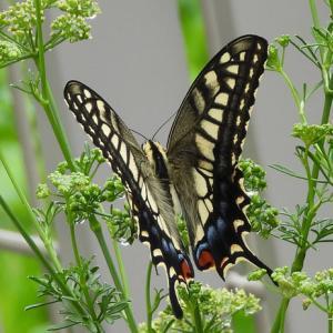 今度こそアゲハ蝶