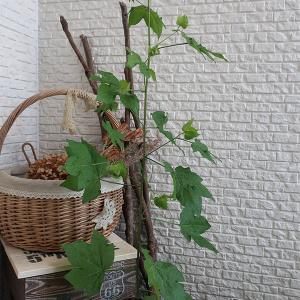 初めて綿の花を育てる。