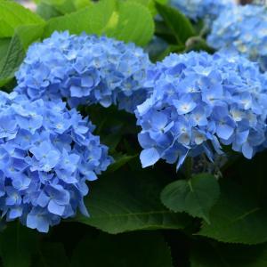 散文夢想「紫陽花が花開く頃。梅雨前線が近づいて、季節を濡らす雨が降る」。