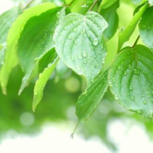 散文夢想「夏至の頃、濡れた青葉が傘に落とす雨粒は夏の季節の誘い水」。