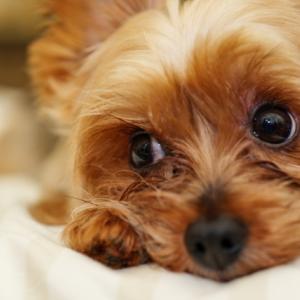 犬を飼えるのは60歳まで?!高齢になって犬を飼う不安とは