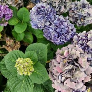 秋色の紫陽花が素敵