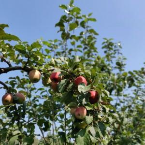 そういえば、りんご狩り