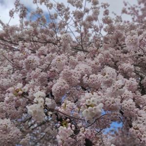Queen Elizabeth Parkの桜が見頃です