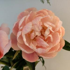 桜花しぐれと大好きな芍薬の色の移り変わり