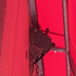 楽しみがあるとウォーキングも頑張れる!ツバメの巣を見つけたよ