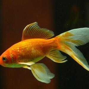金魚を水道水に入れてはいけないの?