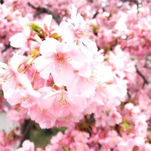 わーい‼︎河津桜が満開♡