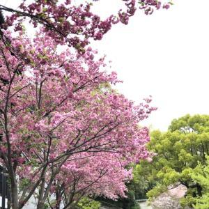 見たかった八重桜が見れたー♡