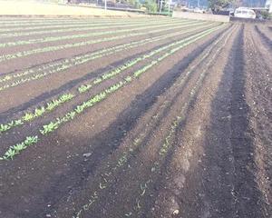ほうれん草に使う除草剤
