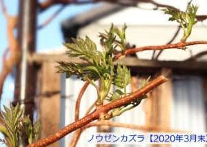庭のノウゼンカズラに芽がでて葉が大きくなりはじめる