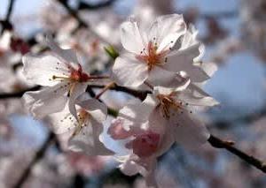 うちのところの桜の開花宣言はいつ出る?
