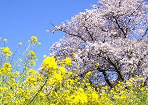 気温があがり桜の満開は近いかも