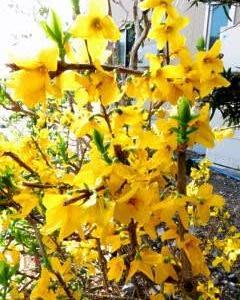 高村光太郎が好きだった黄色いレンギョウの花が咲いている