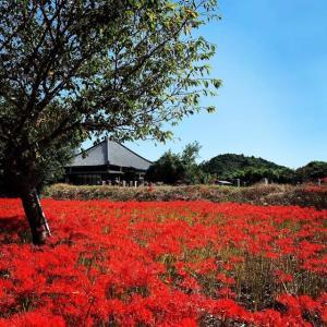 勝浦市妙満寺の彼岸花畑