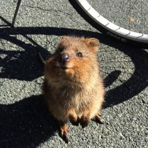 【ロットネス島】世界一幸せな動物、クウォッカワラビーに会いにパース・ロットネスト島に行ってみた