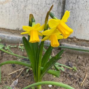 【MyGarden】咲き始めたお花たちと庭の整備計画