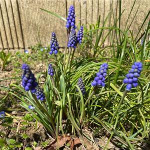 【MyGarden】ムスカリ・パンジー開花中。チューリップはもう少し。