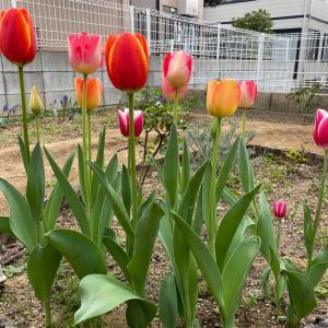 【MyGarden】チューリップ開花中