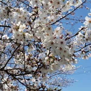 桜吹雪かと思いきやマジで吹雪やん!?それでも届いた嬉しい桜便り☆季節感をありがとうね@大阪〜東京