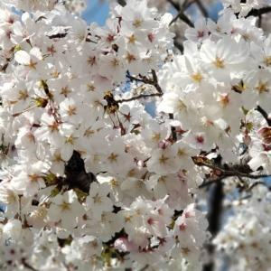 降るような満開の桜❀サクラ❀桜越しに見上げる青空の輝き☆いよいよ春爛漫@大阪〜神戸