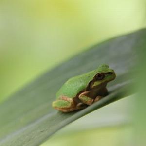カエルの赤ちゃん