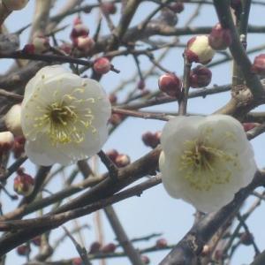 梅の花開花、春です、ダイエットはまず普段の食生活の見直しから!