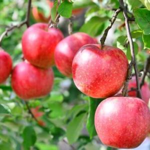 りんごを食べて風邪知らず!保存方法や日持ちは?美味しい食べ方紹介!