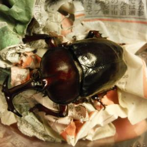 黒い江田島カブト虫